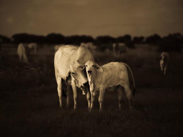 calf1-585